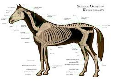 Horse Health Musculoskeletal Injury